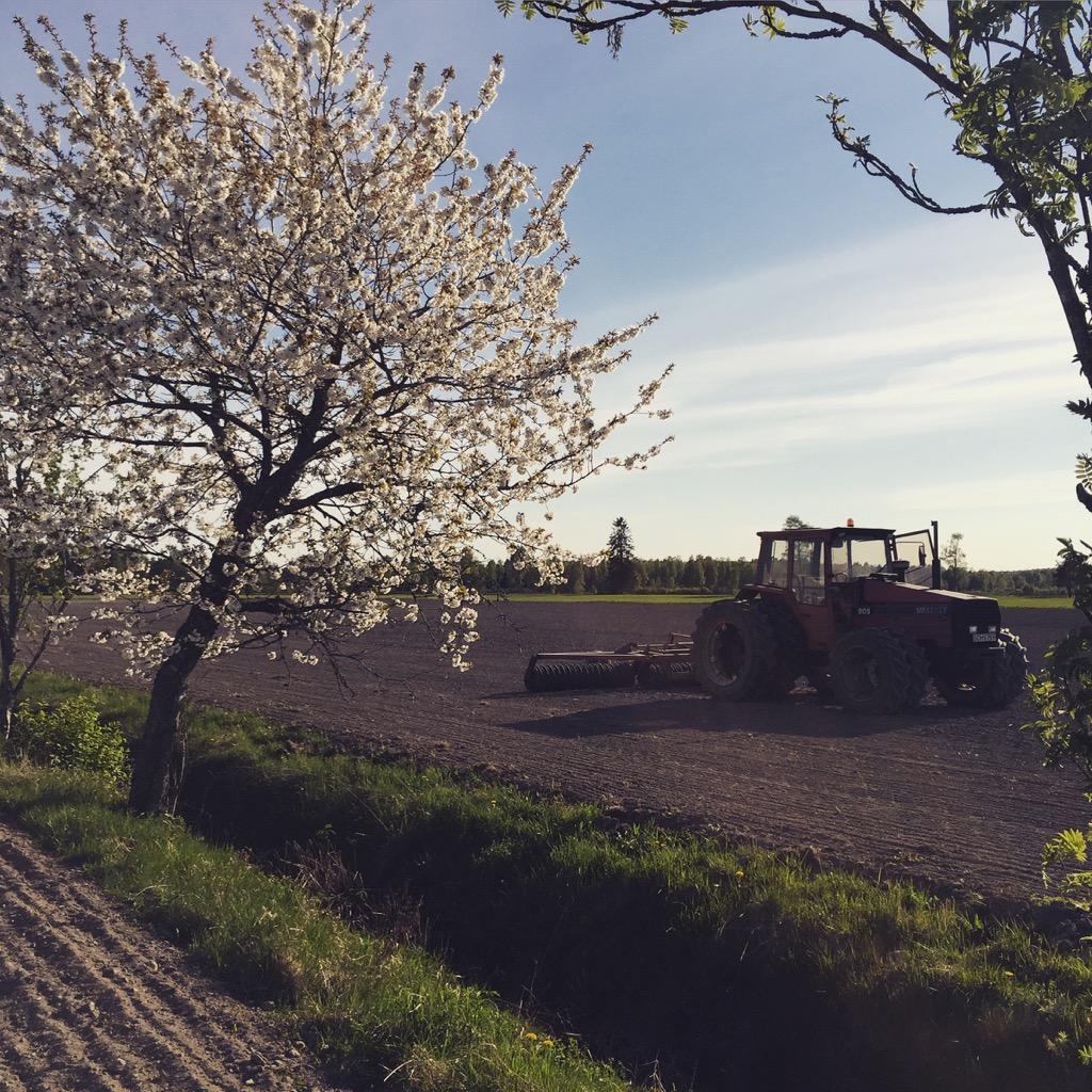 Vältning av den nysådda bifodergrödan
